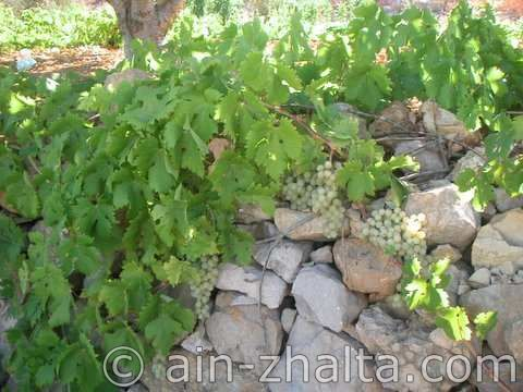 Ain Zhalta grape vine